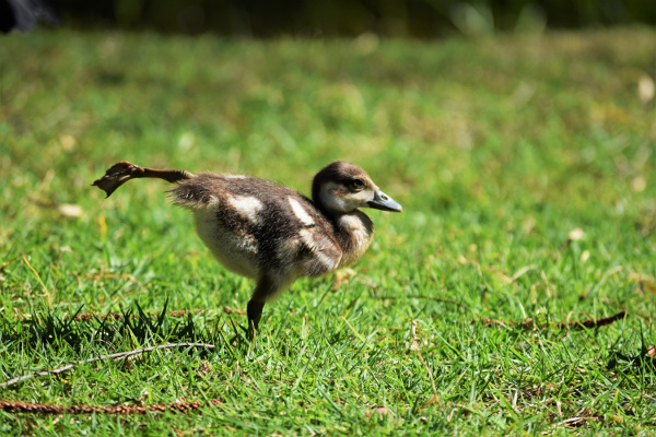a duck on the grass stretches and stands on one leg